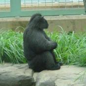 Gorillas are shy vegetarians.
