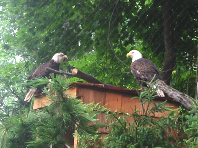 Found injured in the wild, these two Bald Eagles can't fly anymore, but are safe here at the National Zoo's Refuge.