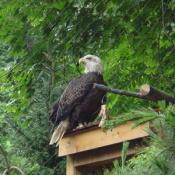 The refuge allows visitors to view the eagles in a setting similar to the birds' wild habitat.