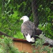 Bald eagles have lived up to 48 years in zoos, although their life span in the wild is likely far shorter.