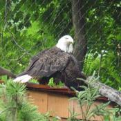 The Zoo's bald eagles eat dead rats and chicks sprinkled with a vitamin and mineral supplement.