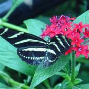 The Zoo's Butterfly Garden is located behind the Invertebrate House.