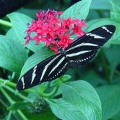 This is a Zebra Longwing Butterfly.