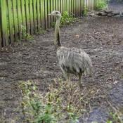 This is a Greater Rhea