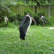 To the casual observer, the massive Marabou Stork, with its balding, scabby head and pendulous pink air sac, may appear to be one of the ugliest creatures in the world.
