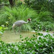 The Red-crowned Crane is a stately long-legged, long-necked bird whose immaculate snow-white plumage is accented by black secondary feathers, a black neck with contrasting white nape, and a red crown.
