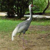The white cranes are the most aquatic of the world's 15 crane species.
