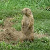 During the winter months, prairie dogs spend most of the time in their underground burrows: out of sight and out of the cold.
