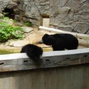 Sloth bears grow five to six feet long, stand two to three feet high at the shoulder, and weigh from 120 (in lighter females) to 310 pounds (in heavy males).
