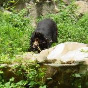 Sloth Bears are native to the Indian sub-continent.