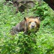 This is a Spectaculed Bear. They are very rare.