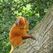 "The National Zoo is working to conserve the Golden Lion Tamarin species. A pair consisting of a male named ""Rio"" and a female named ""Chrysta"" are living in Beaver Valley where they are ranging free in the tree-tops."