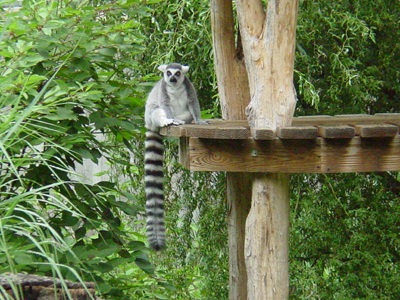 Ring-tailed lemurs are found in the southwest portion of Madagascar.