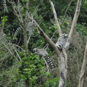 Lemurs live in arid, open areas and forests.
