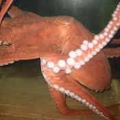 It also seeks to reduce the frequency of octopi jetting and crashing into the side of its tank.