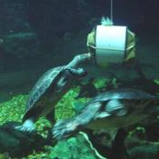 Turtles being fed in the Amazonia exhibit