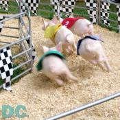 Number 2 pig races ahead in the first turn.