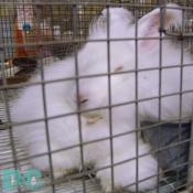This Bunny Holland Lop is sooo cute.