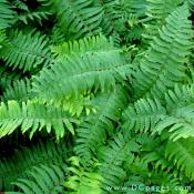 Fern can be seen in Cryptomeria walk.