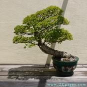 Chinese Elm, Ulmus parviflora,  Age Unknown, Donated by Stanley Chinn