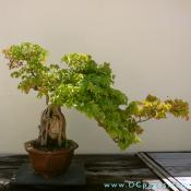 Trident Maple, Acer buergeranium, Age Unknown Donated by Stanley Chinn