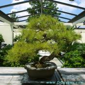 Japanese Black Pine, Pinus thumbergii, , In training since 1936 Donated by Yee-sun Wu