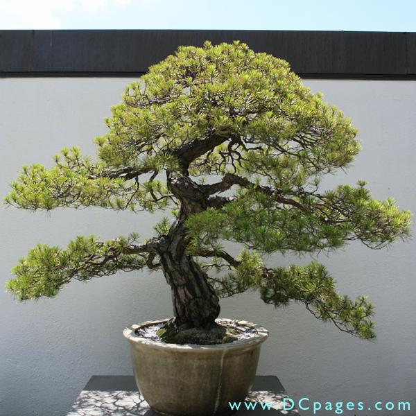 Japanese red pine pinus densiflora in training since 1795 donated