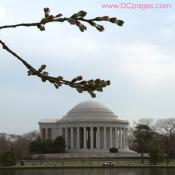 Tuesday, 10:30 am EST, March 27, 2007, Cherry Blossom View of the Jefferson Memorial. 70° with slight overcast and calm. Florets partially Visible.