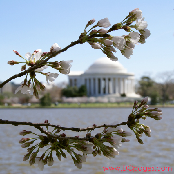 Thursday, 11:00 am EST, March 29, 2007, Cherry Blossom View of the Jefferson Memorial. 58° and clear sky with 5 mph wind. Extended Florets on most branches. Approx. 70 percent of trees are in First Stage of Flower Bloom around tidal basin.