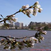 Thursday, 11:05 am EST, March 29, 2007, Cherry Blossom View of the United States Capitol Building. 58° and clear sky with 5 mph wind. Extended Florets on most branches. Approx. 70 percent of trees are in First Stage of Flower Bloom around tidal basin.