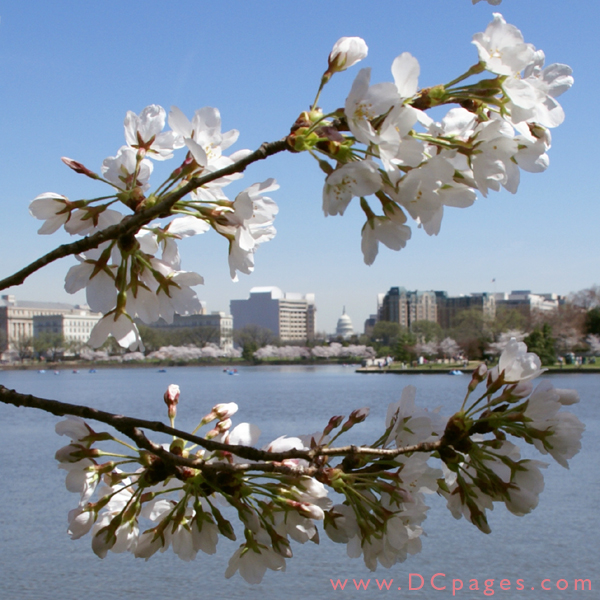Friday, 11:40 am EST, March 30, 2007, Cherry Blossom View of the United States Capitol Building. 62° and clear sky with no wind. First Stage Flower Bloom on most branches. Approx. 90 percent of trees are in First Stage of Flower Bloom around tidal basin.