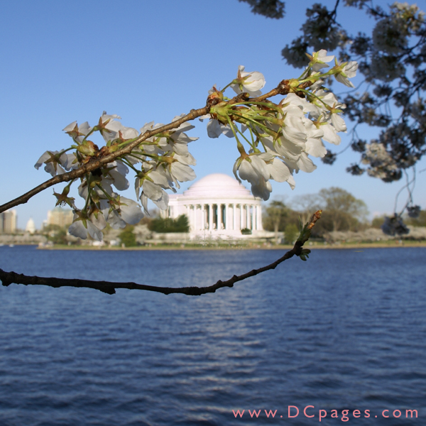 Monday, 6:20 am EST, April 2, 2007, Cherry Blossom View of the Thomas Jefferson Memorial. 73° and clear sky with 10 mph wind. Blossoms near peak. Bottom branch has been damaged. If you see someone picking the flowers tell them to stop.