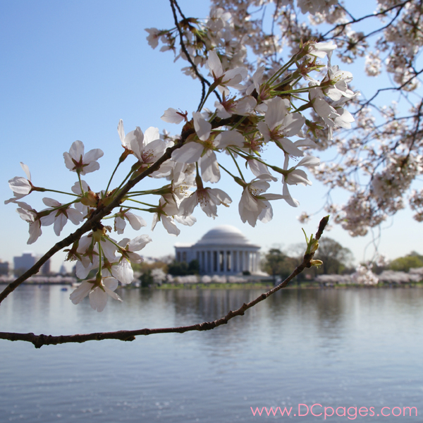 Tuesday, 10:47 am EST, April 3, 2007, Cherry Blossom View of the Thomas Jefferson Memorial. 73° and clear sky with 3 mph wind. Blossoms are at peak! Leaves are growing on damaged branch.