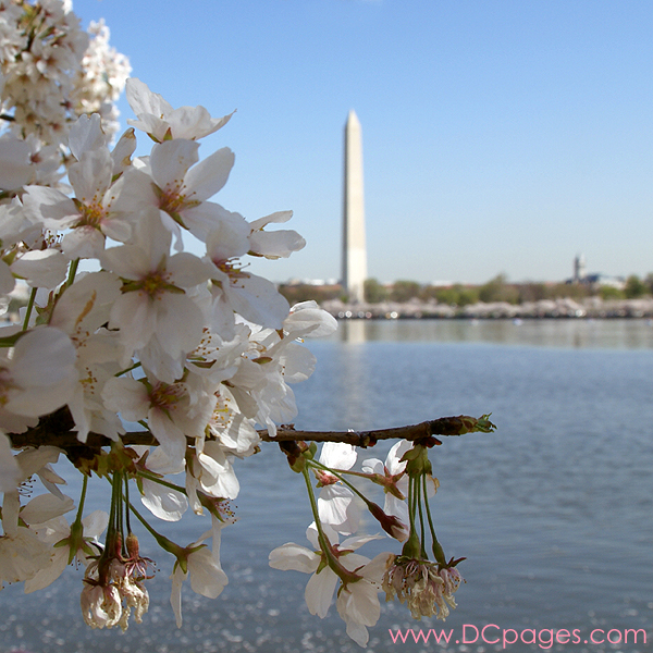 Tuesday, 10:50 am EST, April 3, 2007, Cherry Blossom View of the Washington Monument. 73° and clear sky with 3 mph wind. Blossoms are at peak! Damaged petals are wilting, but branch is intact.