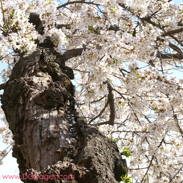 Tuesday, 11:09 am EST, April 3, 2007, ancient blooming cherry tree.