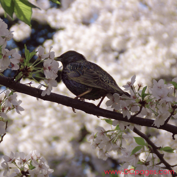 Tuesday, 11:15 am EST, April 3, 2007, European Starling resting on a cherry tree branch. Special thanks to Mike Kaspar of the DC Audubon for naming the bird.