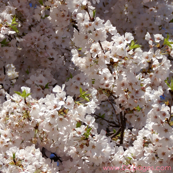 Tuesday, 11:30 am EST, April 3, 2007, the blossoms are magnificent today. I really wish I could take the day off and sit under this tree.