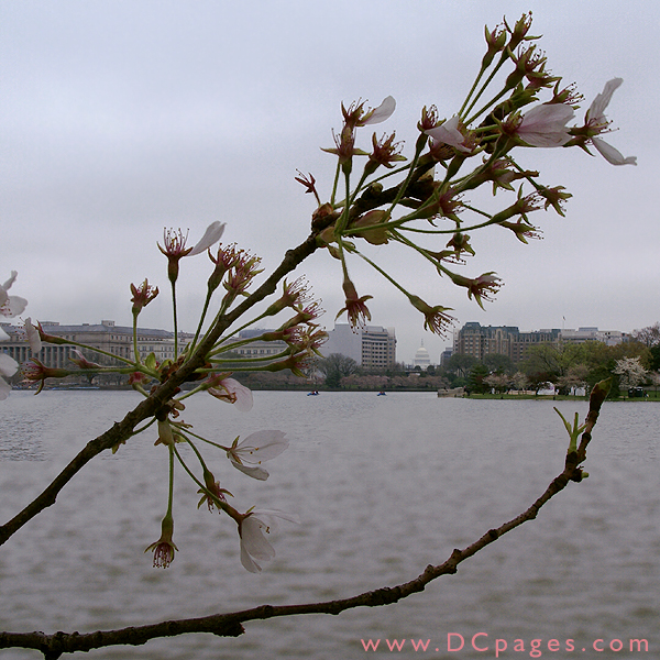 Wednesday, 11:30 am EST, April 4, 2007, Cherry Blossom View of the U.S Capitol Building. 58° and overcast with 8 mph wind. Final stage of blossoms. Leaves are still growing on damaged branch.