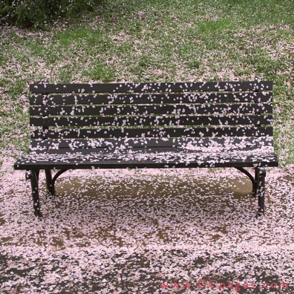 Wednesday, 11:45 am EST, April 4, 2007, Park Bench covered with Cherry Blossoms.