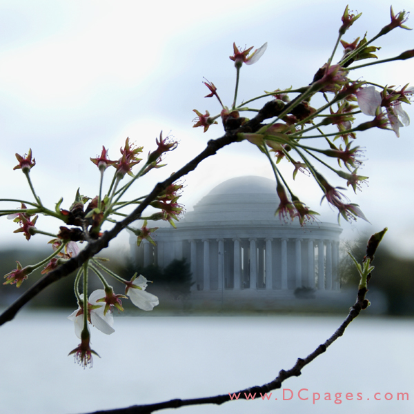 Thursday, 9:32 am EST, April 5, 2007, Cherry Blossom View of the Jefferson Memorial. 41° and clear sky with 16 mph wind. Final stage of blossoms. Most trees have lost their blossoms.