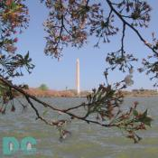 Friday, 2:00 pm EST, April 15, 2005, Cherry Blossom View of the Washington Monument. Windy and Clear Skies. Flower petals have dropped. Cherry red stamens are exposed. Green leaves forming.