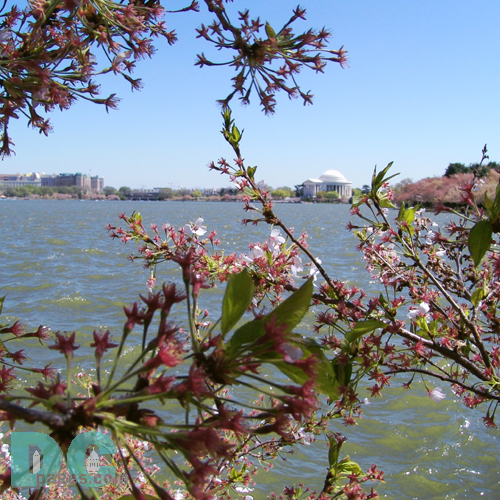 Friday, 2:00 pm EST, April 15, 2005, Cherry Blossom View of the Jefferson Memorial. Windy and clear skies. Flower petals have dropped. Cherry red stamens are exposed. Green leaves forming.