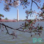 Thursday, 1:00 pm EST, April 14, 2005, Cherry Blossom View of the Washington Monument. Brisk and clear skies. Flower petals have dropped. Cherry red stamens are exposed. Green leaves forming.