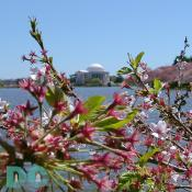 Thursday, 1:00 pm EST, April 14, 2005, Cherry Blossom View of the Jefferson Memorial. Brisk and clear skies. Flower petals have dropped. Cherry red stamens are exposed. Green leaves forming.