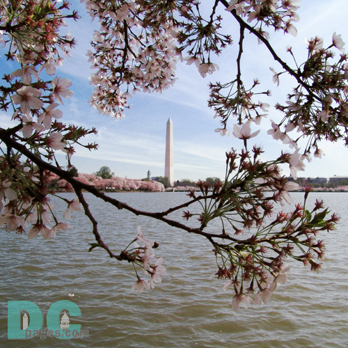 Wednesday, 10:00 am EST, April 13, 2005, Cherry Blossom View of the Washington Monument. Chilly. Final Stage of Flower Bloom. Leaf petals forming.