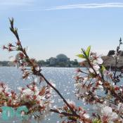 Wednesday, 10:00 am EST, April 13, 2005, Cherry Blossom View of the Jefferson Memorial. Chilly. Final Stage of Flower Bloom. Leaf petals forming.