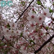 Tuesday, 4:20 pm EST, April 12, 2005, Cherry Blossom tree branch. Chilly. Final Stage of Flower Bloom