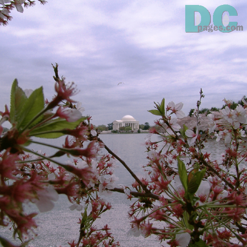 Tuesday, 4:20 pm EST, April 12, 2005, Cherry Blossom View of the Jefferson Memorial. Chilly. Final Stage of Flower Bloom