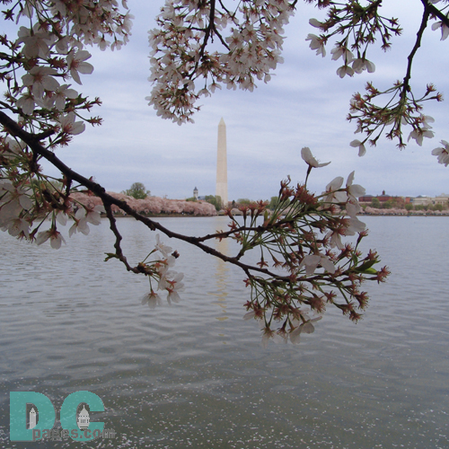 Tuesday, 4:20 pm EST, April 12, 2005, Cherry Blossom View of the Washington Monument. Chilly. Final Stage of Flower Bloom