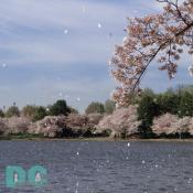 Monday, 9:20 am EST, April 11, 2005, Cherry Blossom petals flurring across the Jefferson Tidal Basin. Sunny with a crisp breeze. Third Stage of Flower Bloom